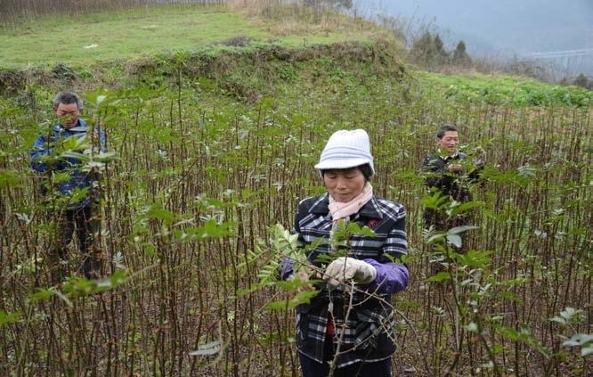 谢淑芬和员工一起给花椒树剪枝